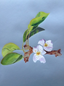 Asian pear blossom. Copyright 2013 Robin L. Chandler.