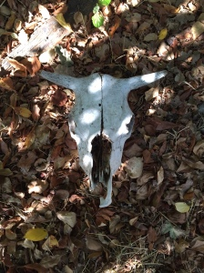 Cow skull. Robin L. Chandler Copyright 2015.